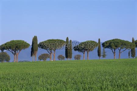 landscape of green field parasol pines