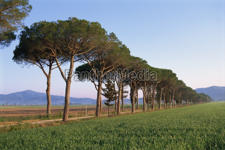 landscape of parasol pines and cypress