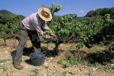 spanish seasonal worker picking grapes seguret