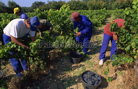 spanish seasonal workers grape picking seguret