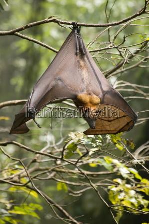 fruit bat flying fox chiroptera pteropodidae