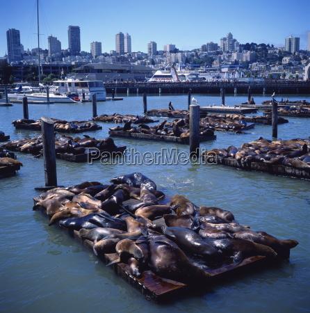 sea lions basking on floating platforms