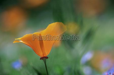 close up of a california poppy
