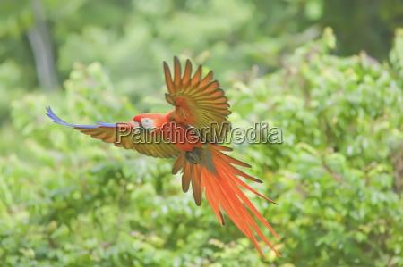 scarlet macaw ara macao in flight