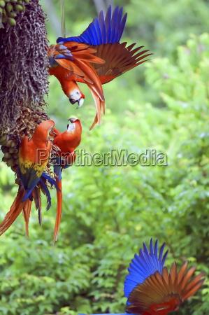 scarlet macaws ara macao arguing corcovado