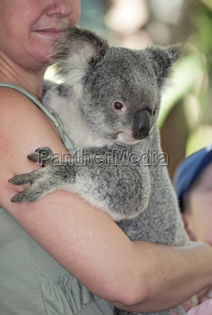 koala hugging phascolarctos cinereous lone pine