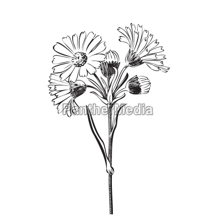 hand drawn bouquet of daisy flowers