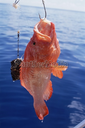 fish hanging from hook northeast coast