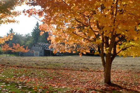 maple trees in full autumn color