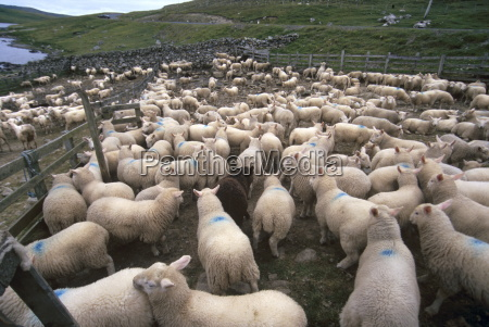 sheep rearing is one of the