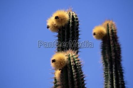 close up of faces of cacti