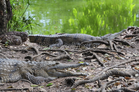 freshwater crocodiles northern territory australia pacific