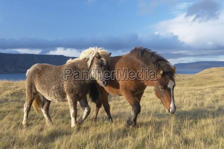icelandic horses at midsandur hvalfjordur north