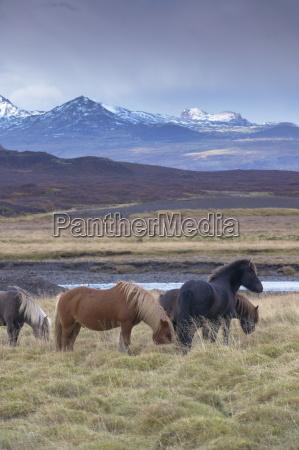 icelandic horses near snorrastadir snow covered