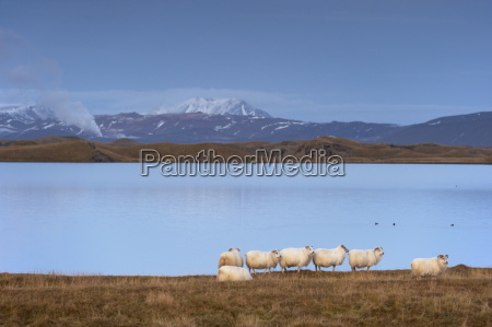 icelandic sheep on the shores of
