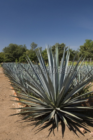 agave plants from which tequila is
