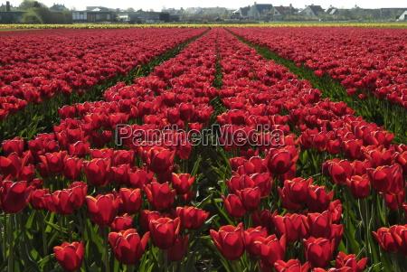 tulip bulb fields near noordwijk holland