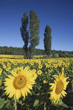 cultivated sunflowers helianthus annuus arable crop