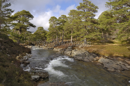 scots pine forest and lui water