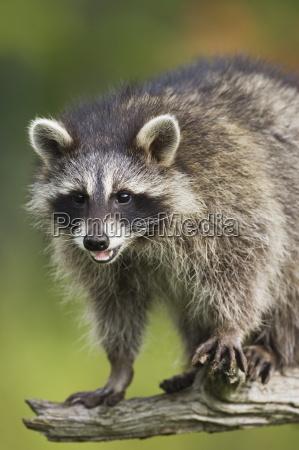 waschbaer racoon procyon lotor in gefangenschaft