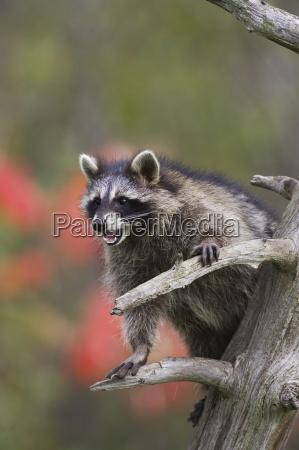 raccoon racoon procyon lotor in a