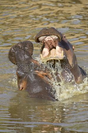 two hippopotamus hippopotamus amphibius fighting masai