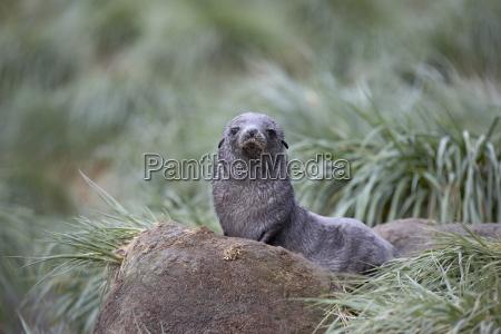 antarctic fur seal arctocephalus gazella or