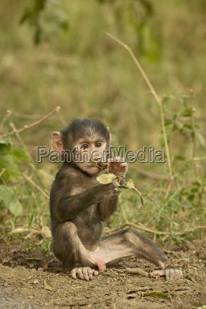 infant olive baboon papio cynocephalus anubis