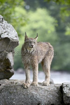 canadian lynx lynx canadensis in captivity