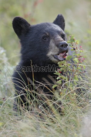 black bear ursus americanus cub eating