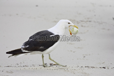 cape gull larus vetula with african