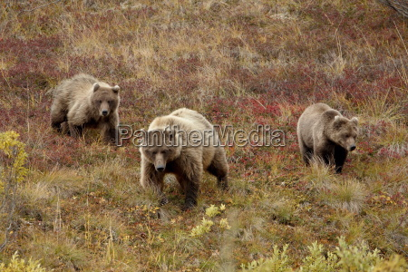 grizzly bear ursus arctos horribilis with