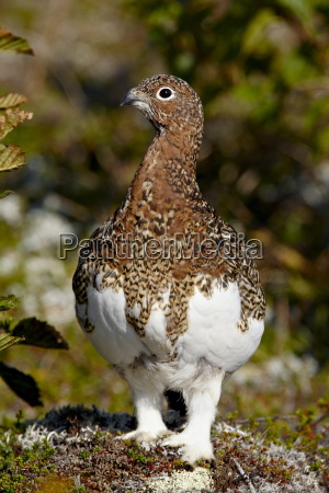 willow ptarmigan lagopus lagopus katmai national