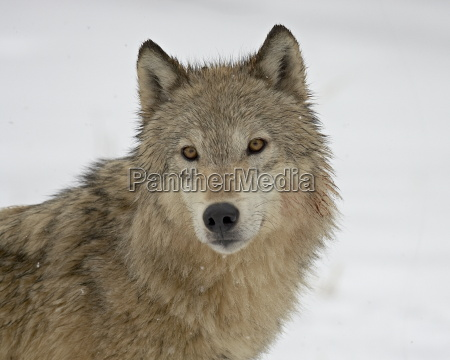 gray wolf canis lupus in snow