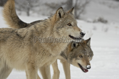 two gray wolves canis lupus in
