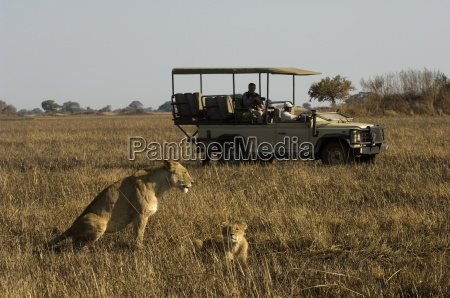 tourist taking pictures of lioness and