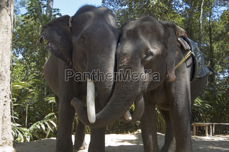brother and sister elephants linking trunks