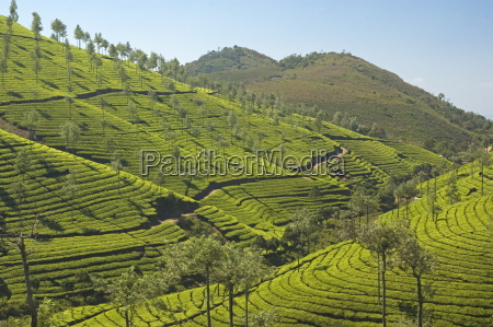 tea plantations dotted with silver oak