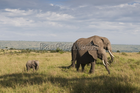 african elephants and young calf loxodonta