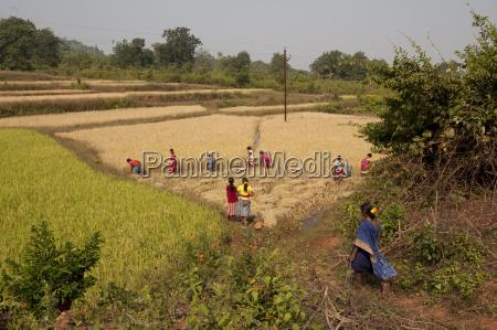 village women harvesting rice crop by