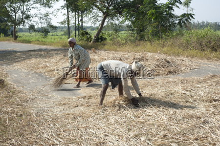 husband and wife threshing rice harvest
