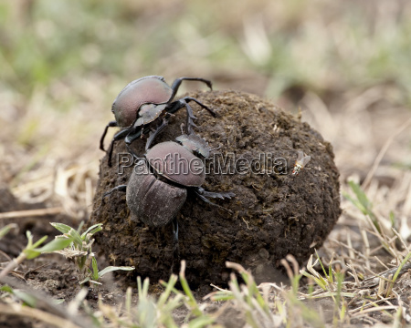 two dung beetles atop a ball