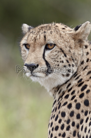 cheetah acinonyx jubatus kruger national park