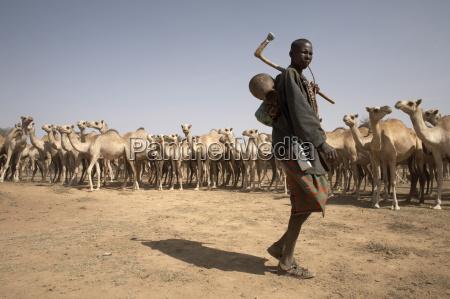 nomadic camel herders lead their herd