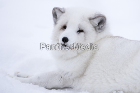 arctic fox vulpes lagopus polar park