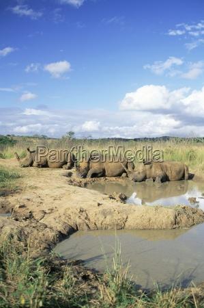 white rhinoceros rhino ceratotherium simum at