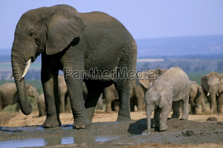 african elephant loxodonta africana at water