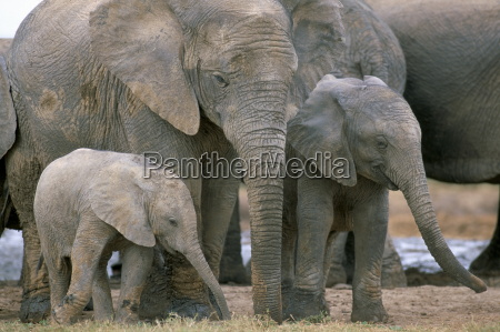 african elephant loxodonta africana greater