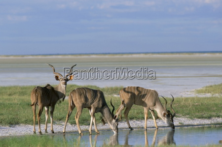 greater kudu tragelaphus strepsiceros males at
