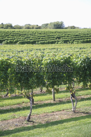 vineyard of winery the hamptons long